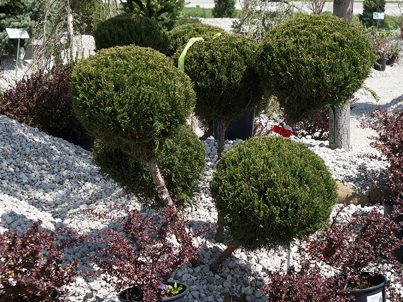 Flower Shrubs Png Shrubs st Louis 3 Png