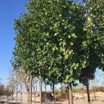 flowering-pear