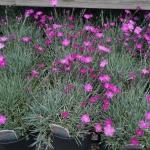 schmittels-nursery-may-2014-local-flowers (10 of 32)