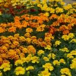 schmittels-nursery-may-2014-local-flowers (12 of 32)