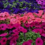 schmittels-nursery-may-2014-local-flowers (15 of 32)