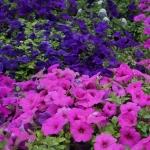 schmittels-nursery-may-2014-local-flowers (16 of 32)