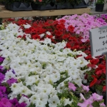 schmittels-nursery-may-2014-local-flowers (17 of 32)