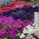 schmittels-nursery-may-2014-local-flowers (18 of 32)