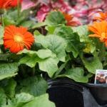 schmittels-nursery-may-2014-local-flowers (19 of 32)