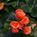 schmittels-nursery-may-2014-local-flowers (23 of 32)