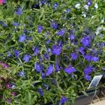 schmittels-nursery-may-2014-local-flowers (24 of 32)