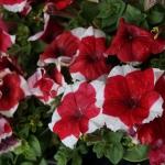 schmittels-nursery-may-2014-local-flowers (25 of 32)