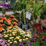 schmittels-nursery-may-2014-local-flowers (29 of 32)