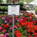 schmittels-nursery-may-2014-local-flowers (32 of 32)
