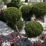 shrubs-st-louis-3.png