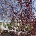 trees-st-louis-mo-1