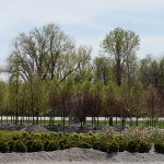 trees-st-louis-mo-8