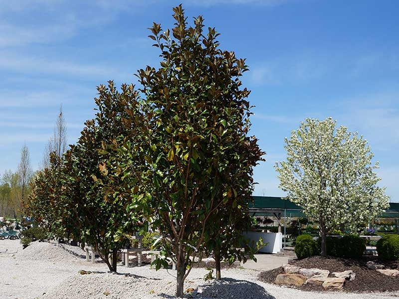 Trees St Louis Mo Shade Ornamental Flowering