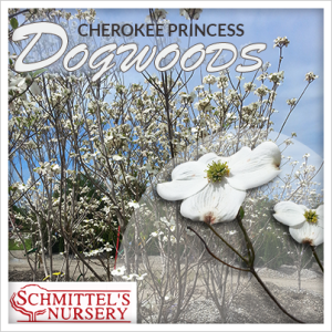 Cherokee Princess Dogwood Trees St Louis Schmittel S