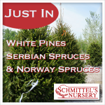 just in white pines serbian spruce norway spruce