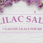 St. Louis Nursery Lilac Sale