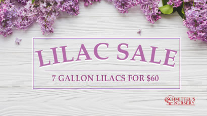 St. Louis Nursery Lilac Sale